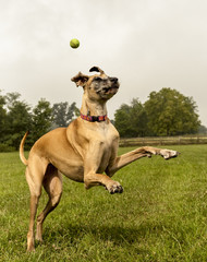 Great Dane awkwardly missing green ball