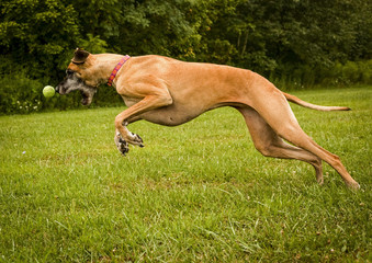 Great Dane nose to nose with ball in mid leap