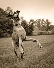 sepia great Dane trying to catch ball
