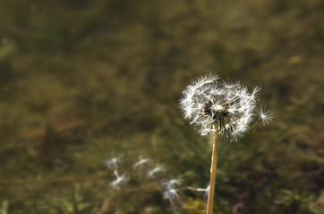 Taraxacum flower
