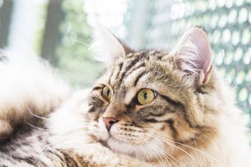 brown male of siberian cat, kitten at ten months