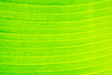 closeup of banana leaf texture, green and fresh