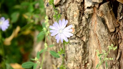 Chicory in a garden.