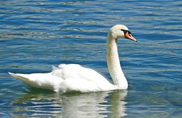 The Swan on Lucerne Lake
