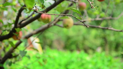 Male hand picking ripe apple fruit from a branch in orchard