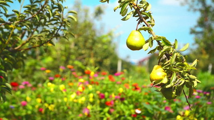 Ripe pear fruit on a branch in orchard on a bright summer day.