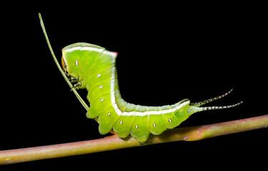 Caterpillar (Cerura erminea) 6