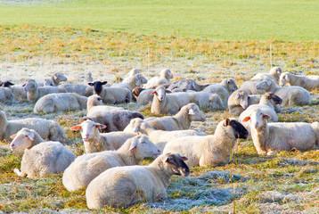 Schafe im frostigen Gras