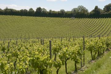 Vineyard in Surrey. England