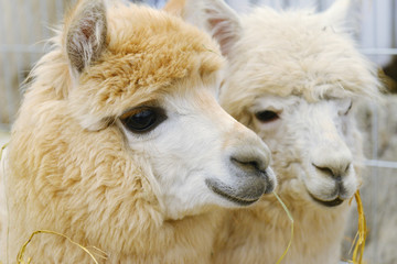 two fluffy alpacas
