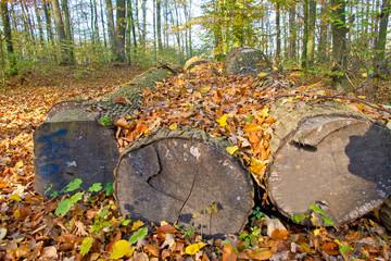 Baumstämme im Herbst - Forstwirtschaft