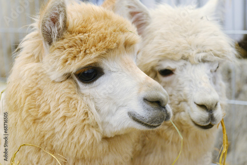 Staande foto Lama two fluffy alpacas