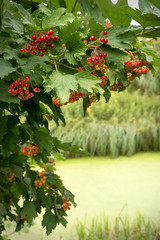 Viburnum branch with red berries over the river