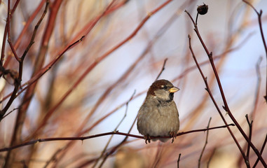 Sparrows on winter branches