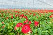 Blooming red gerberas in a Dutch greenhouse