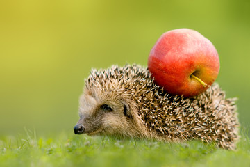 Igel mit Apfel auf Rücken