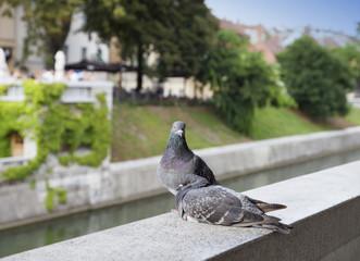 Two loving pigeons