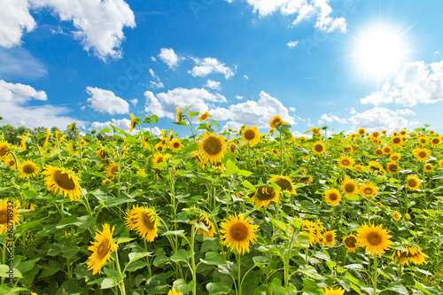 Canvas Cultuur Sonnenblumenfeld im August