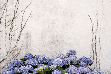 beautiful blue hortensia or Hydrangea macrophylla with a white w