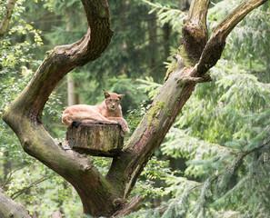 Luchs auf einem Baum
