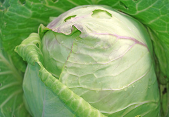 Cabbage in the garden close up as a background