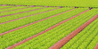 rows of green salad grown in agricultural field 2