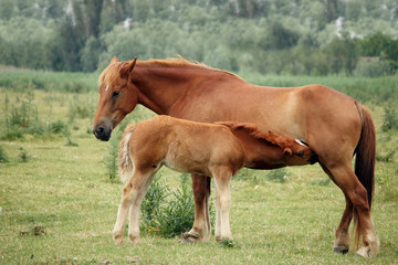 mare and foal breastfeeding in the field
