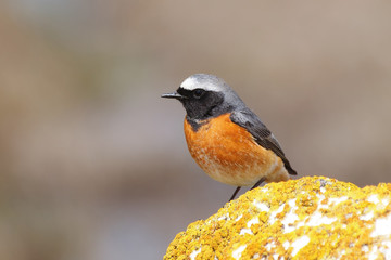 Common redstart male (Phoenicurus phoenicurus)