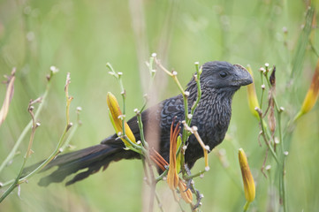 Anu-preto espécie de cuco do Brasil