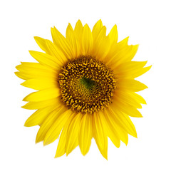 flower of a sunflower isolated on a white background