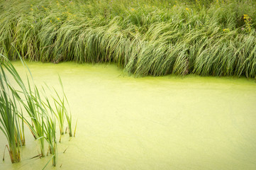 Natural background of overgrown with duckweed pond fringed with