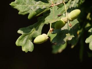 arorns on twig of oak tree