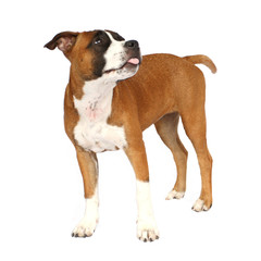 Tier Hund Welpe Staffordshire Terrier Staff steht