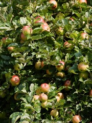 ripe apples on fruit tree