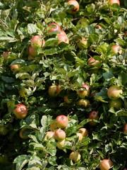 ripe apples on fruit tree