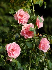 pink roses on shrub in a garden