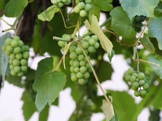 grapes on vine plant