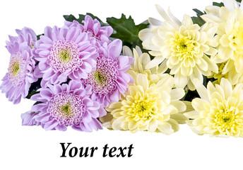 Хризантемы на белом фоне