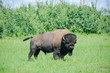 Plains bison from Elk Island National Park in Alberta, Canada
