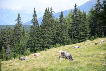 Kühe am Waldraster Jöchl