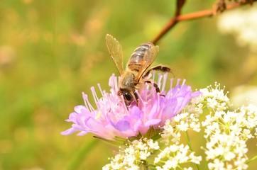 Пчелка и нектар