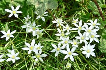Little white flowers in green grass