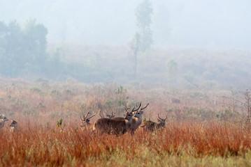 A Group of Eld's deers