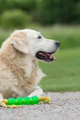 seniorhund mit spielzeug