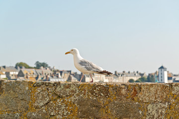 Sea gull standing on old city wall of Saint Malo. Brittany. Fran