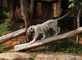 large white tiger resting