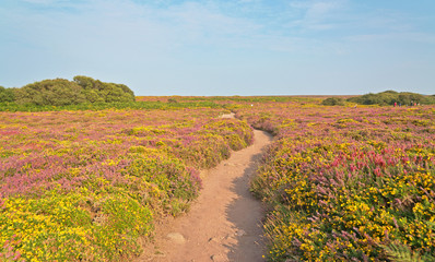 Sandy path through field of yellow and purple flowers. Cape of F