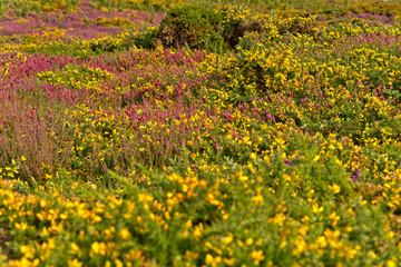Colorful field of purple and yellow flowers. Cape of Frehel. Bri
