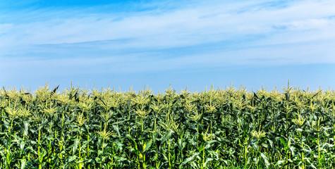 Blühender Mais am blauen Himmel