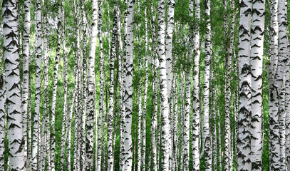 Trunks of summer birch trees